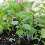 Getting Ready for Spring with an Herb Garden