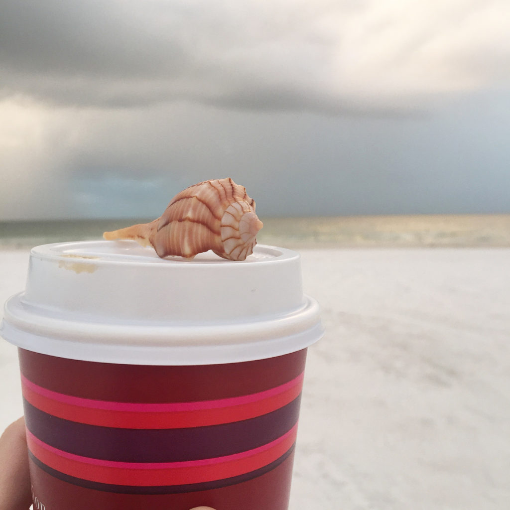 Lightning whelk at Marco Island Marriott beach