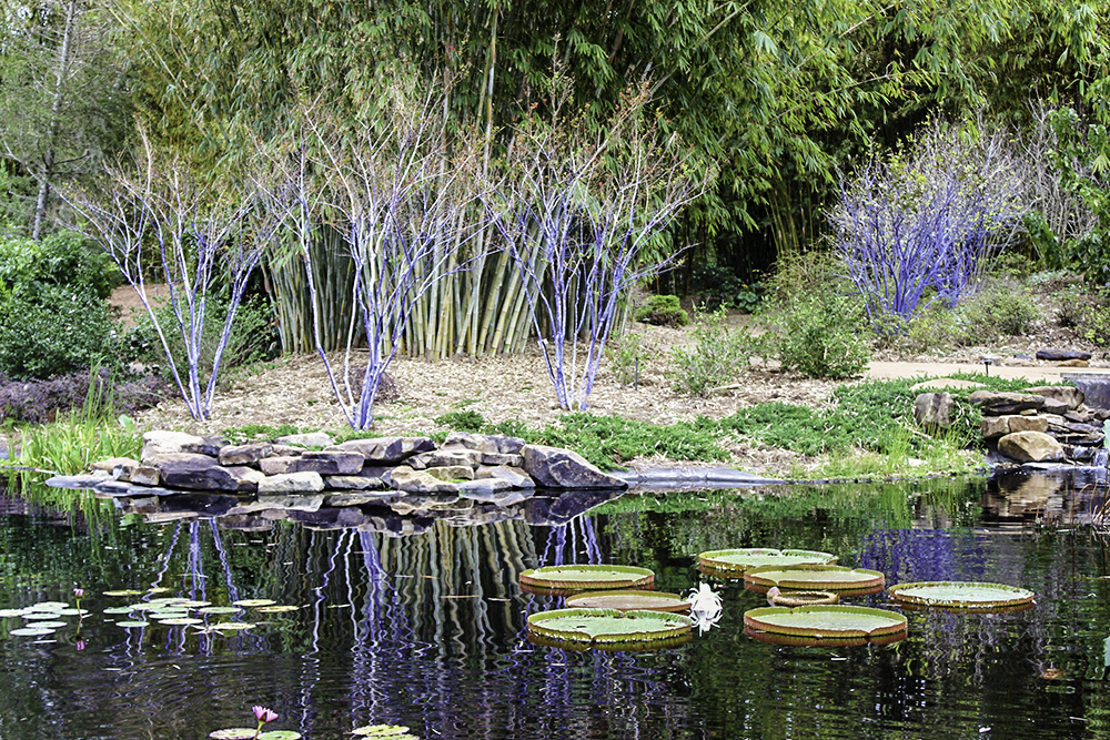blue-trees-at-jacksonville-zoo