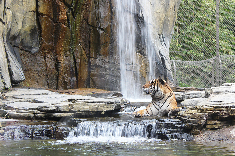 tiger-in-waterfall-onlyinjax