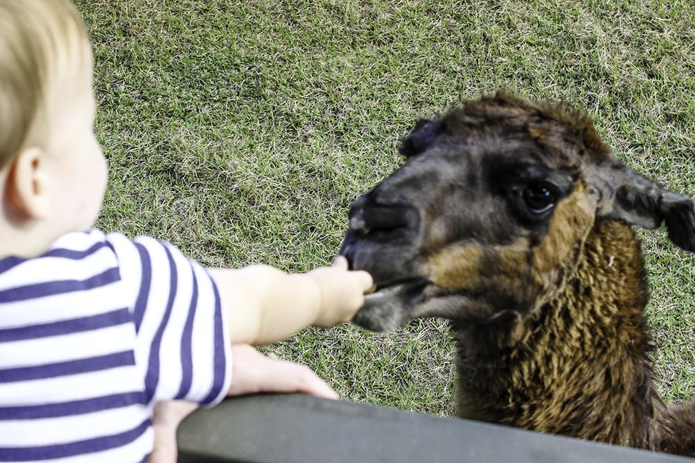 Jackson feeding a llama