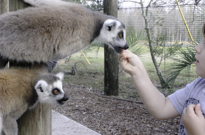 Robert loves feeding the lemurs