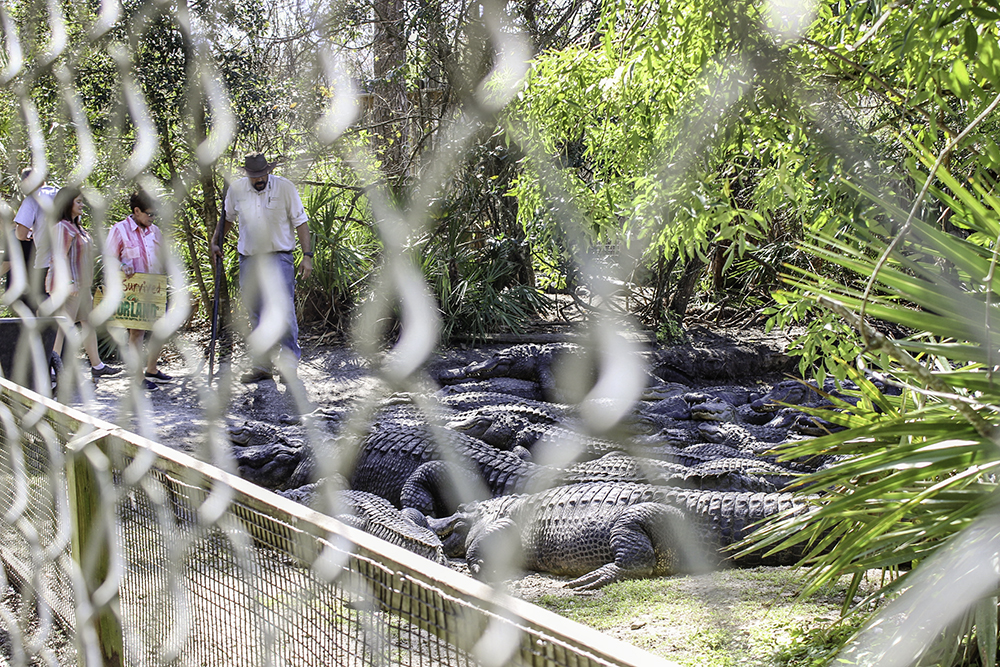 Family Activities in Orlando- get up close and personal to feed alligators at Gatorland