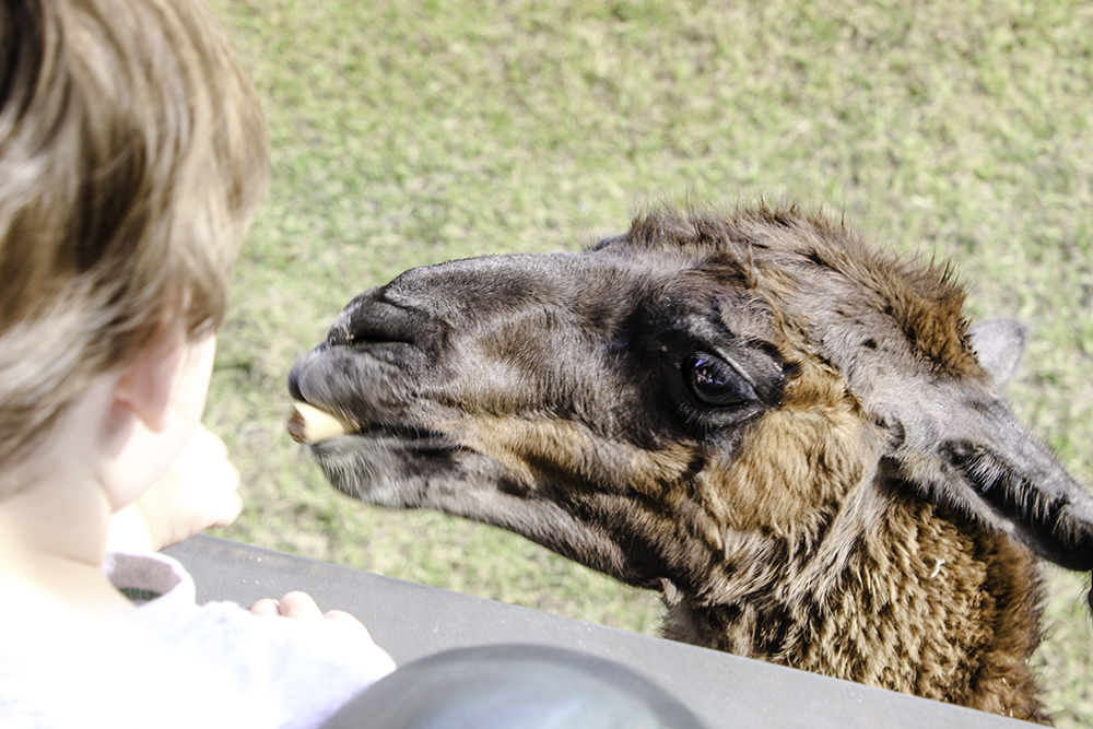 Robert feeding a llama at safari wilderness