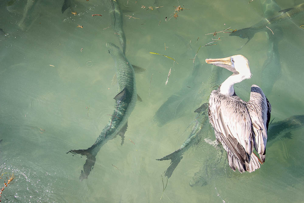 Feeding the Tarpon in Islamorada at Robbies